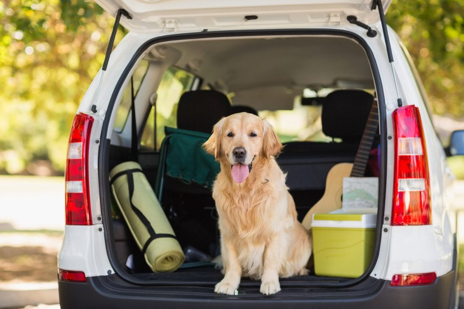 Dog Sitting in a Packed Car Before Move