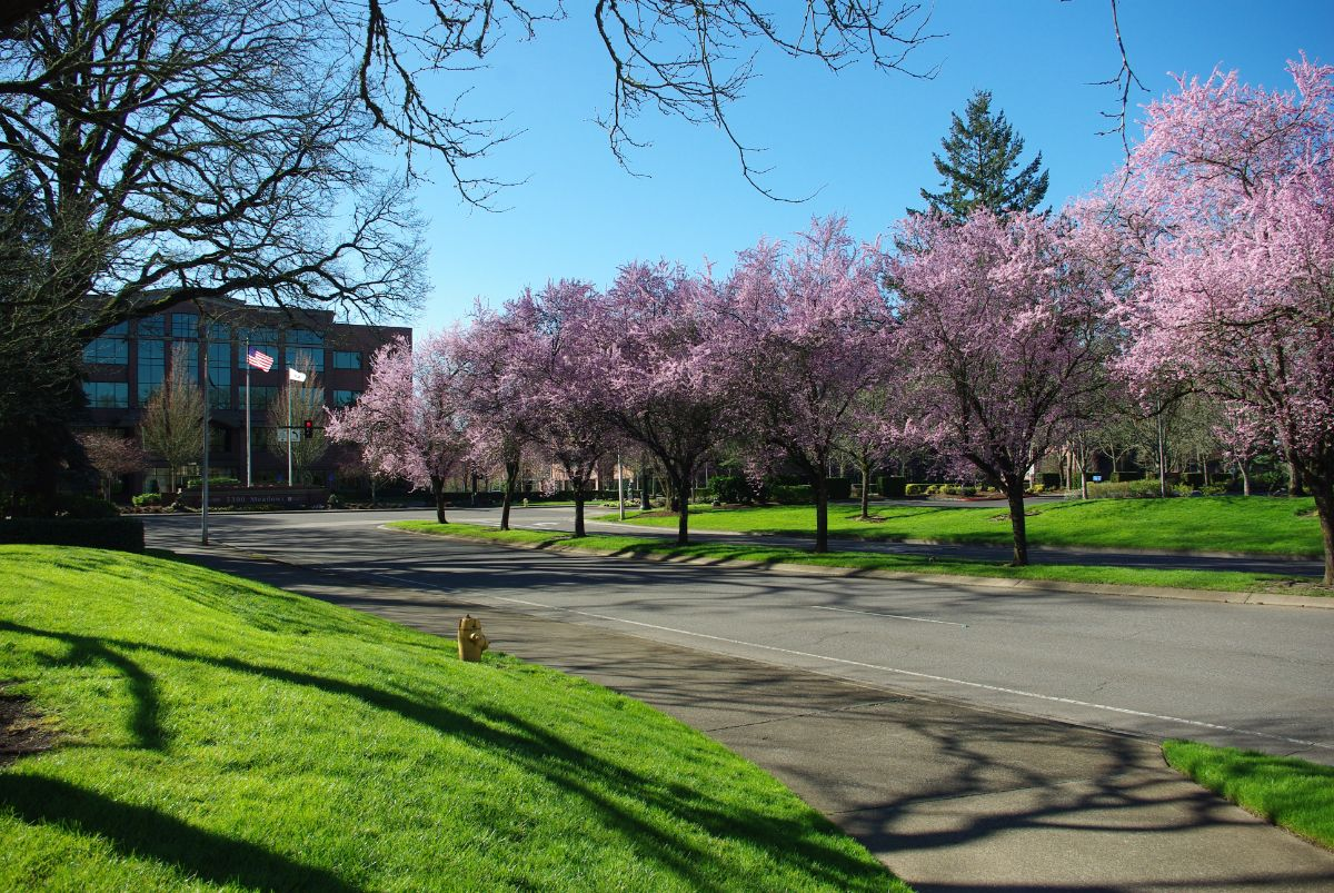 Trees in bloom off Kruse Way in Lake Oswego, Oregon